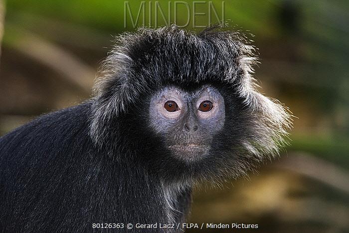 Javan Langur (Trachypithecus auratus) adult female, close-up of head (captive)  -  Gerard Lacz/ FLPA