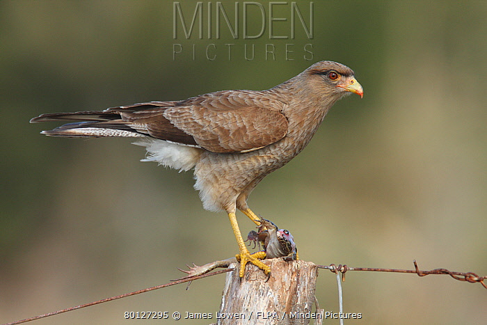 Chimango Caracara (Milvago chimango) immature, first winter plumage, feeding on frog, perched on fencepost, Rincon de Cobo, Buenos Aires, Argentina, august  -  James Lowen/ FLPA
