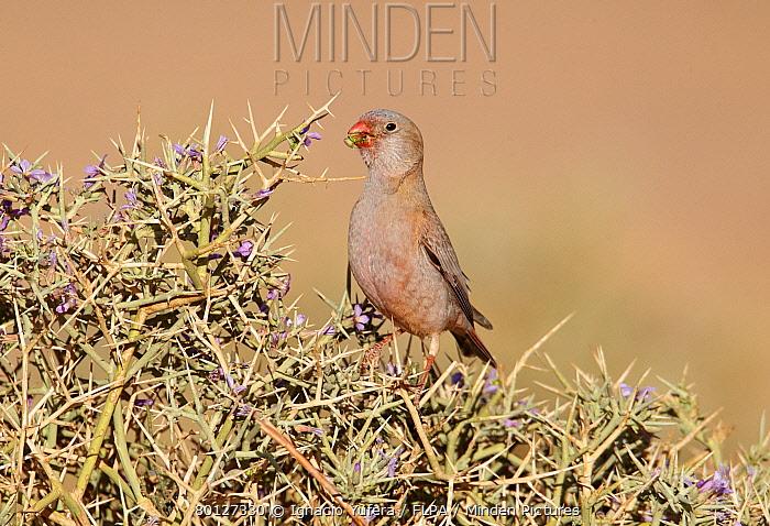 Trumpeter Finch (Rhodopechys githaginea) adult male, feeding on thorny bush, near Erg Chebbi, Morocco, february  -  Ignacio Yufera/ FLPA