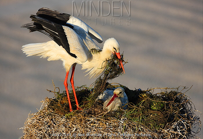 White Stork (Ciconia ciconia) adult pair, returning bird with nesting material at nest in city, Faro, Algarve, Portugal, april  -  Neil Bowman/ FLPA