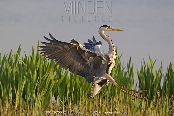 Grey Heron (Ardea cinerea) adult, in flight, landing in reedbed, Minsmere RSPB Reserve, Suffolk, England, april  -  Paul Sawer/ FLPA