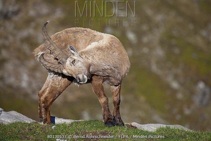 Horn Minden minden pictures stock photos alpine ibex capra ibex