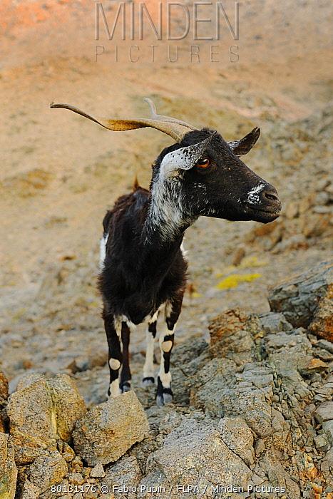 Domestic Goat, adult, standing on rocks, cause of complete overgrazing of vegetation on island, Samha island, Socotra, Yemen, march  -  Fabio Pupin/ FLPA
