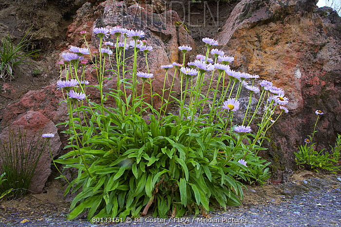 Subalpine Fleabane (Erigeron peregrinus) flowering, Mount Rainier National Park, Washington State  -  Bill Coster/ FLPA