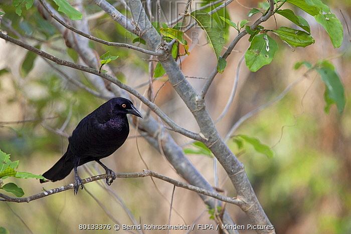 Giant Cowbird (Molothrus oryzivorus) adult, perched on twig, Pantanal, Mato Grosso, Brazil  -  Bernd Rohrschneider/ FLPA