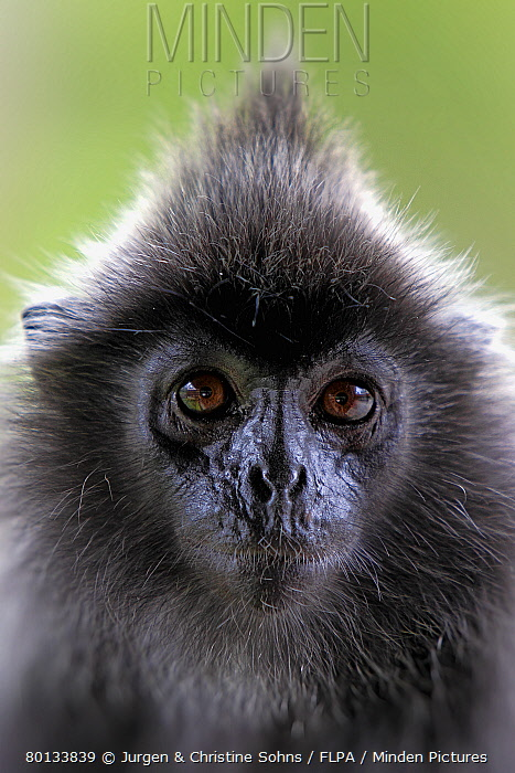 Silvered Leaf Monkey (Trachypithecus cristatus) adult, close-up of head, Labuk Bay, Sabah, Borneo, Malaysia  -  Jurgen and Christine Sohns/ FLPA