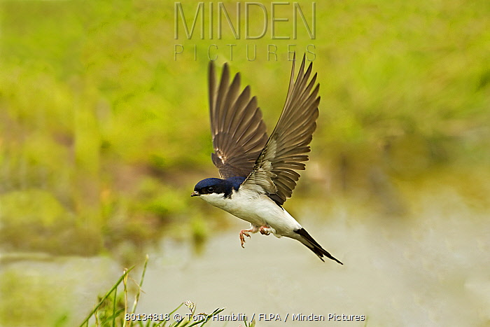 House Martin (Delichon urbica) adult, in flight, collecting mud for nesting material from puddle on farmland, Warwickshire, England, june  -  Tony Hamblin/ FLPA