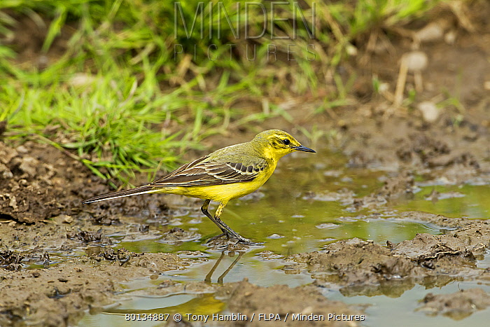 Yellow Wagtail (Motacilla flava flavissima) adult male, foraging in puddle on farmland, Warwickshire, England, july  -  Tony Hamblin/ FLPA