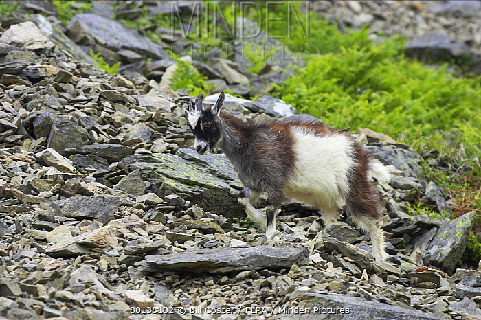 Feral Goat (Capra hircus) young, walking on scree slope in dry valley, Valley of the Rocks, Lynton, Exmoor National Park, Devon, England  -  Bill Coster/ FLPA