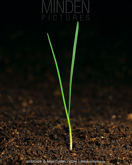 Timothy (Phleum pratense) seedling grass weed with two leaves  -  Nigel Cattlin/ FLPA