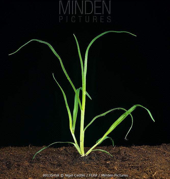 Kikuyugrass (Pennisetum clandestinum) young tillering grass weed plant  -  Nigel Cattlin/ FLPA