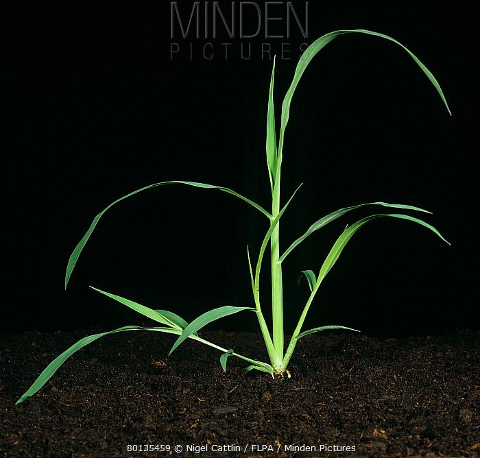 Large crabgrass Digitaria sanguinalis tillering plant  -  Nigel Cattlin/ FLPA