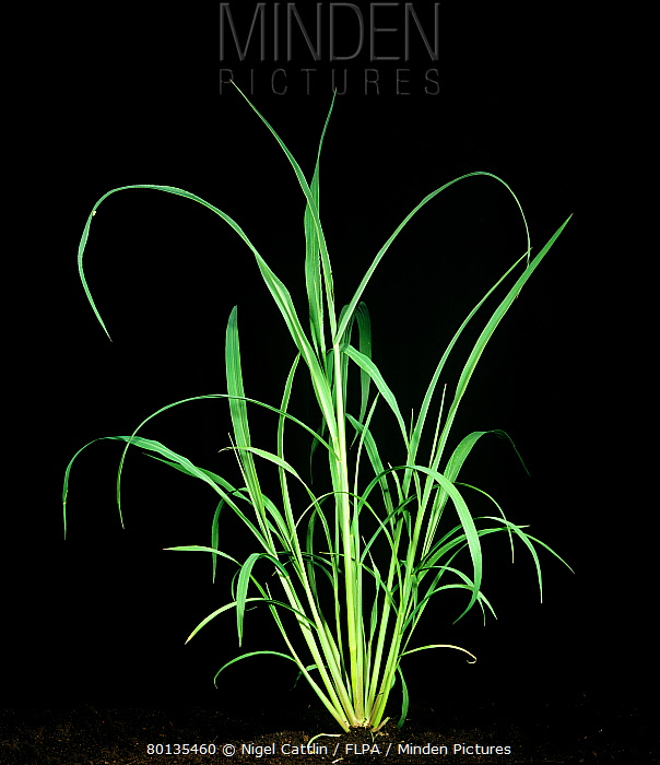 Awnless barnyard grass Echinochloa colonum bold tillering plant  -  Nigel Cattlin/ FLPA