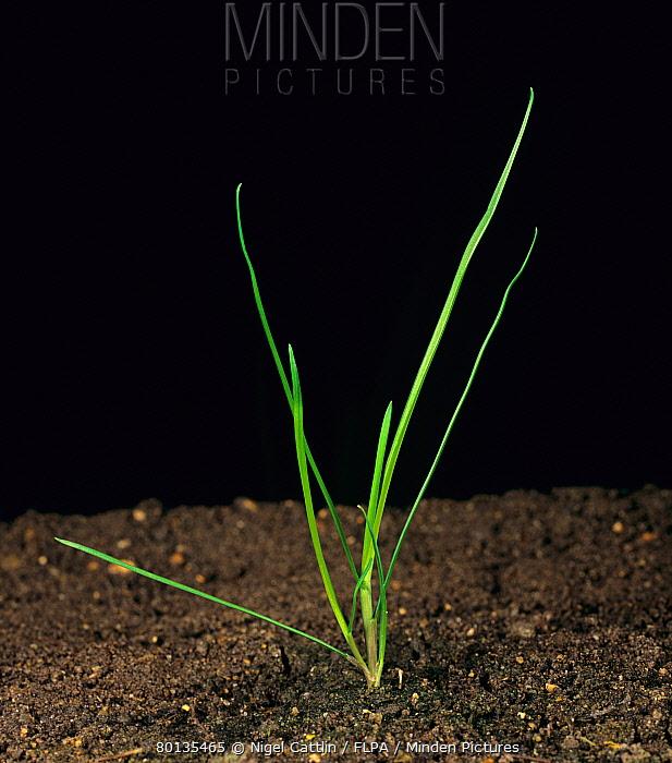 Rough-stalked meadow grass (Poa trivialis) young tillering plant  -  Nigel Cattlin/ FLPA