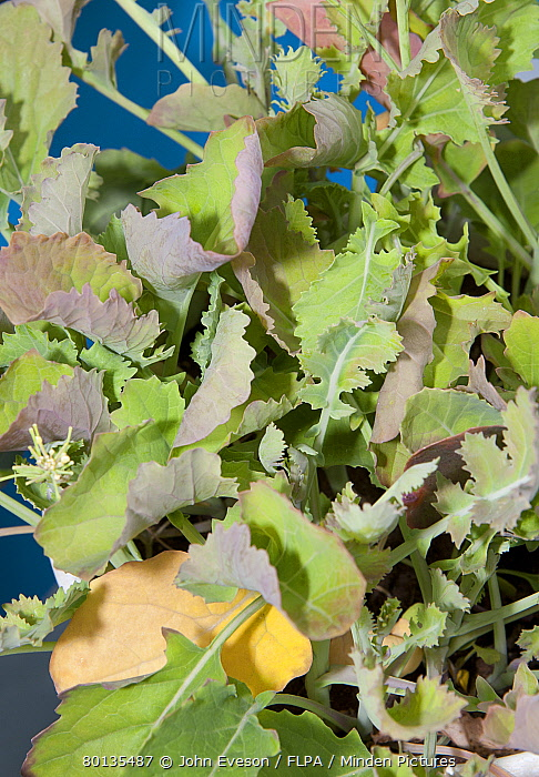 Oilseed Rape (Brassica napus) sulphur deficiency, close-up of leaves  -  John Eveson/ FLPA