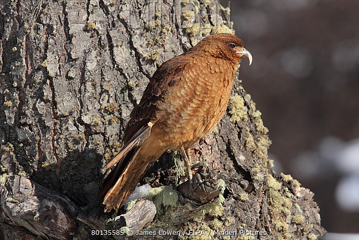 Chimango Caracara (Milvago chimango) adult, aberrant bird with unusually long upper mandible to beak, perched on tree trunk, Harberton, Tierra del Fuego, Argentina, august  -  James Lowen/ FLPA