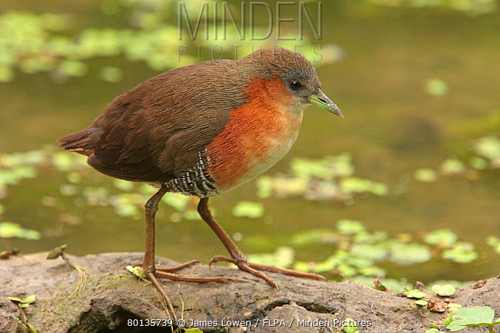 Rufous-sided Crake (Laterallus melanophaius) adult, standing at edge of water, Vicente Lopez, Buenos Aires Province, Argentina, october  -  James Lowen/ FLPA