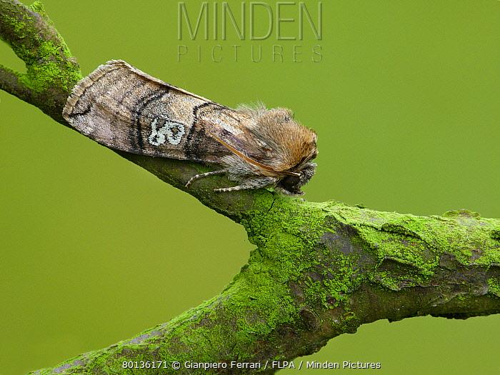 Figure of Eighty (Tethea ocularis) adult, resting on twig, Leicestershire, England, may  -  Gianpiero Ferrari/ FLPA
