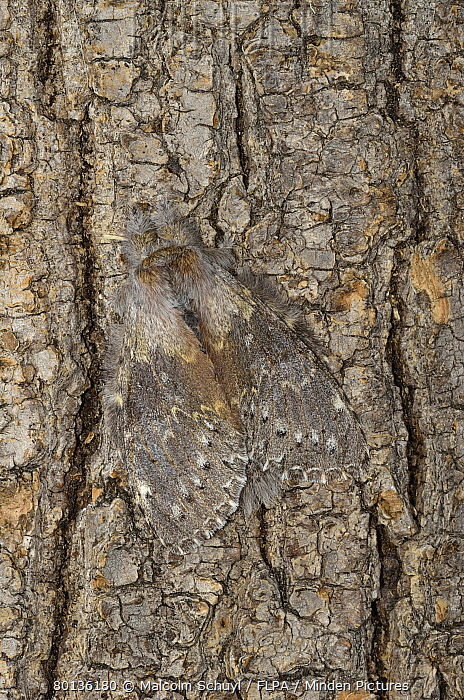 Lobster Moth (Stauropus fagi) adult, camouflaged on tree trunk, Oxfordshire, England  -  Malcolm Schuyl/ FLPA