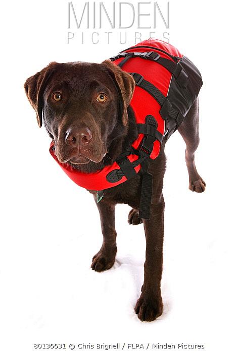 Domestic Dog, Chocolate Labrador Retriever, puppy, standing, wearing lifejacket  -  Chris Brignell/ FLPA