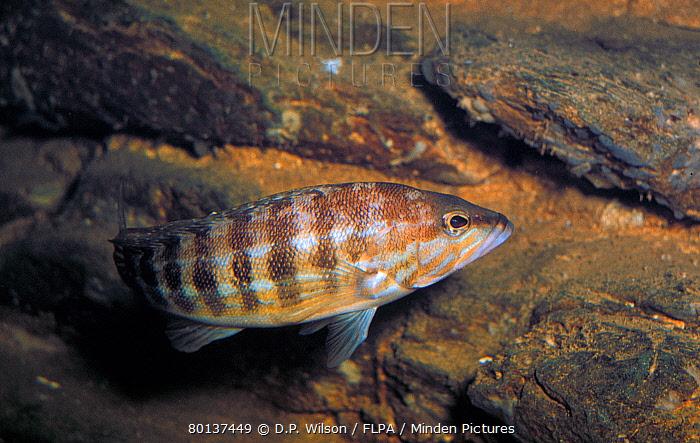 Fish, Comber (Serranus cabrilla)  -  D.P. Wilson/ FLPA