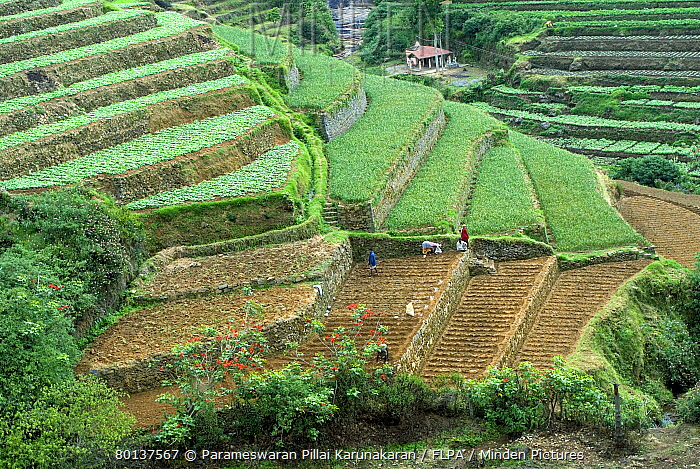 Minden pictures stock photos terrace cultivation for Terrace cultivation