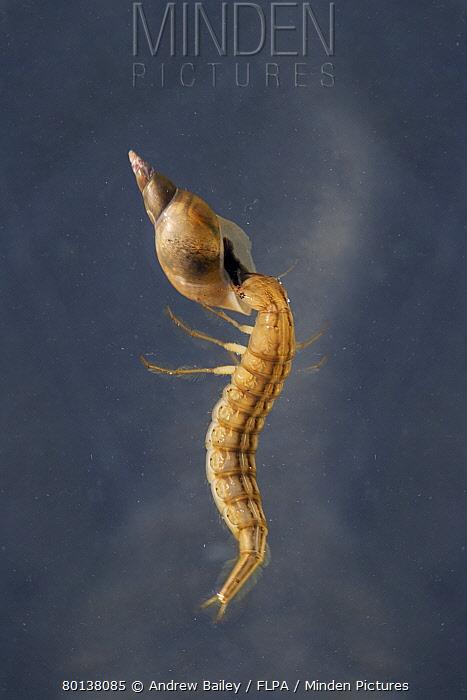 Great Diving Beetle (Dytiscus marginalis) larva, feeding on water snail prey, swimming underwater in garden pond, Bentley, Suffolk, England, june  -  Andrew Bailey/ FLPA