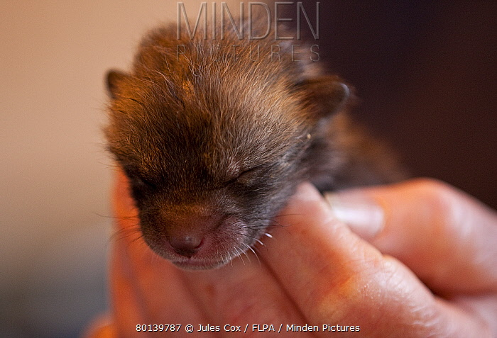 European Red Fox (Vulpes vulpes) one-week old cub, held in hands, at wildlife rescue centre, Kent, England, march  -  Jules Cox/ FLPA