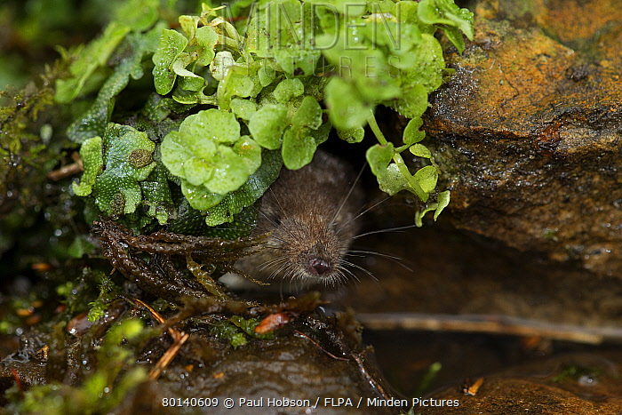 Eurasian Water Shrew (Neomys fodiens) adult, looking out from amongst vegetation on pond bank, South Yorkshire, England, july  -  Paul Hobson/ FLPA