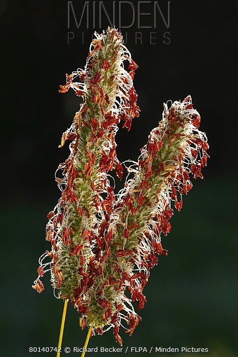 Timothy Grass (Phleum pratense) close-up of flowerspikes, Powys, Wales, september  -  Richard Becker/ FLPA