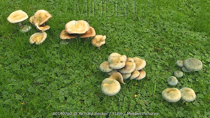 Verdigris Agaric (Stropharia aeruginosa) variously aged fruiting bodies, growing in lawn, Powys, Wales, november  -  Richard Becker/ FLPA