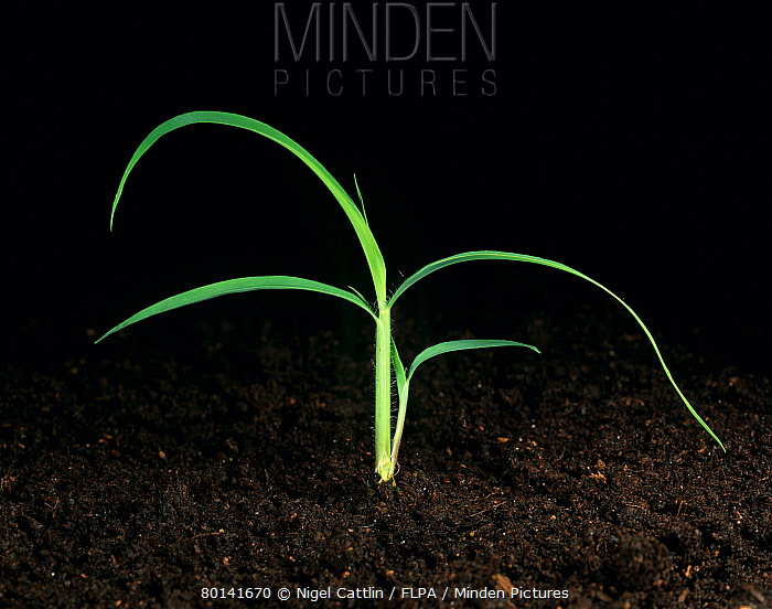 Itchgrass (Rottboellia cochinchinensis) young plant beginning to tiller  -  Nigel Cattlin/ FLPA
