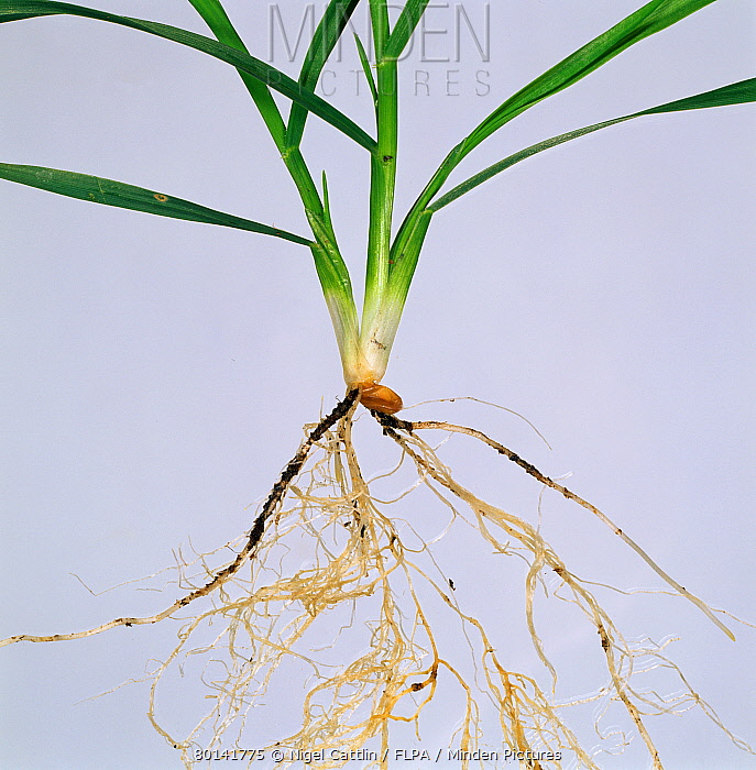Wheat seedling, at stage showing roots and leaves against a white studio background  -  Nigel Cattlin/ FLPA
