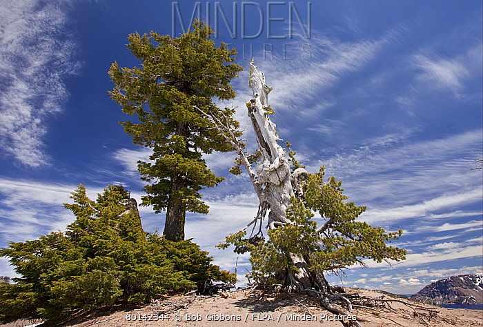 Whitebark Pine (Pinus albicaulis) and Mountain Hemlock (Tsuga mertensiana) ancient habit, growing at ft. (m), Crater Lake National Park, Cascade Mountains, Oregon, U.S.A., july  -  Bob Gibbons/ FLPA