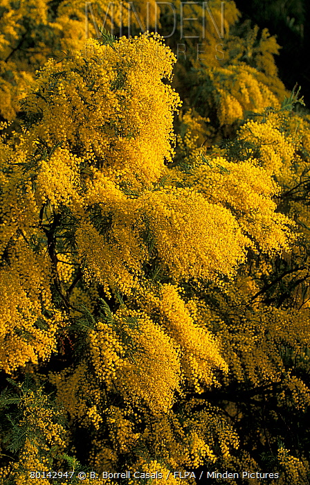 Mimosa (Acacia dealbata) Flowers  -  B. Borrell Casals/ FLPA