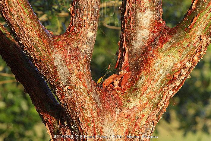Gumbo-limbo Tree (Bursera simaruba) close-up of bark, Florida, U.S.A., december  -  Edward Myles/ FLPA
