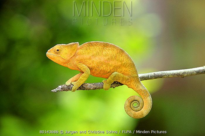 Globe-horned Chameleon (Calumma globifer) young, clinging to twig, Madagascar, september  -  Jurgen and Christine Sohns/ FLPA