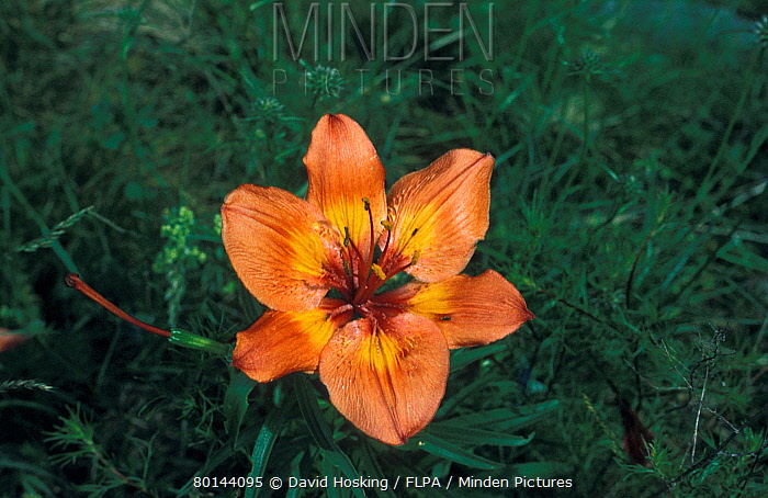 Orange Lily (Lilium bulbiferum) Switzerland  -  David Hosking/ FLPA