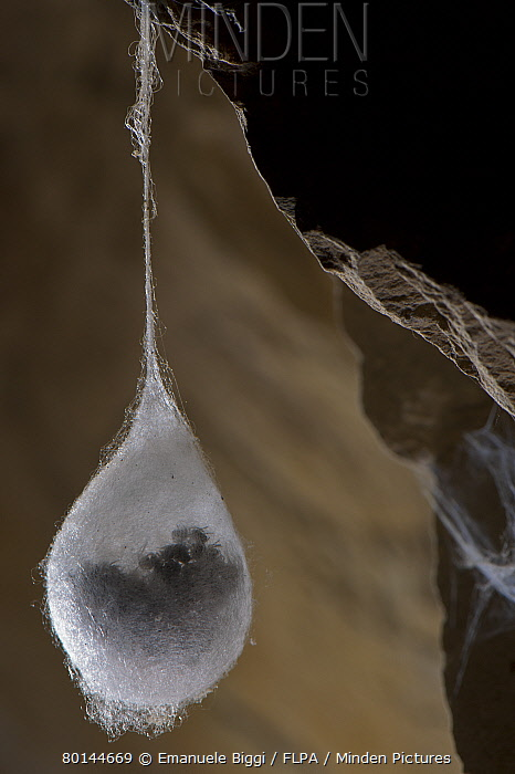 European Cave Spider (Meta menardi) egg cocoon with spiderlings ready to hatch inside, hanging in cave, Italy, january  -  Emanuele Biggi/ FLPA