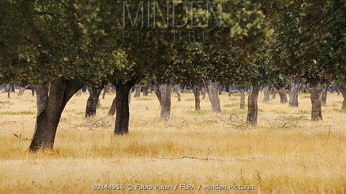 View of dehesa habitat, Salamanca, Castile and Leon, Spain, september  -  Fabio Pupin/ FLPA