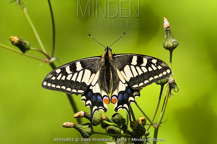 Common Swallowtail (Papilio machaon britannicus) British race, adult, resting on groundsel, Strumpshaw Fen RSPB Reserve, River Yare, The Broads, Norfolk, England, june  -  Dave Pressland/ FLPA