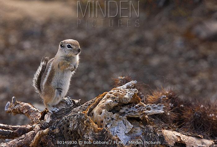White-tailed Antelope Squirrel (Ammospermophilus leucurus) adult, sitting on fallen cactus, Mojave Desert, California, U.S.A., february  -  Bob Gibbons/ FLPA