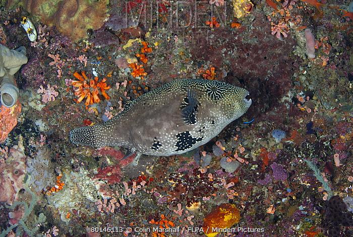 Map Pufferfish (Arothron mappa) adult, swimming over reef, Manado, Northeast Sulawesi, Indonesia  -  Colin Marshall/ FLPA