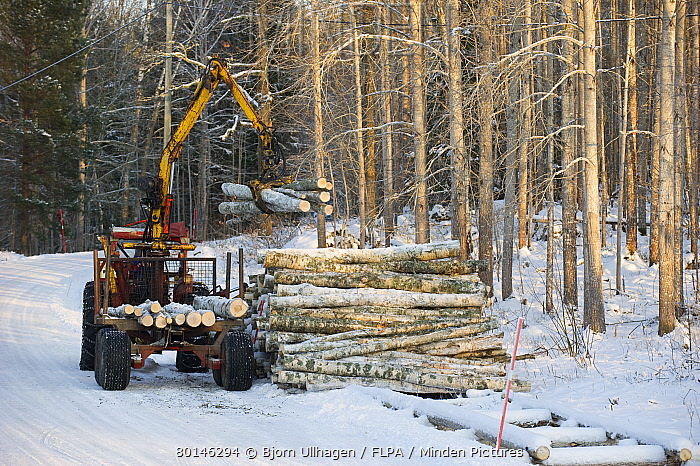 Tractor and trailer with grabber unloading birch timber in snow covered forest, Sweden, february  -  Bjorn Ullhagen/ FLPA