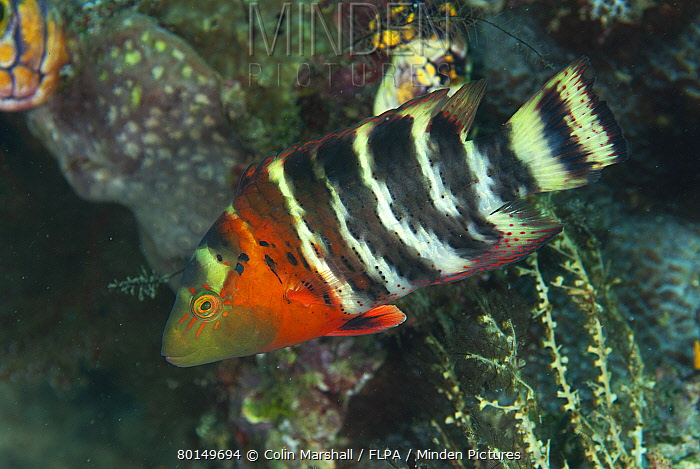 Red-breasted Wrasse (Cheilinus fasciatus) adult, Fiabacet Island, Raja Ampat Islands (Four Kings), West Papua, New Guinea, Indonesia  -  Colin Marshall/ FLPA