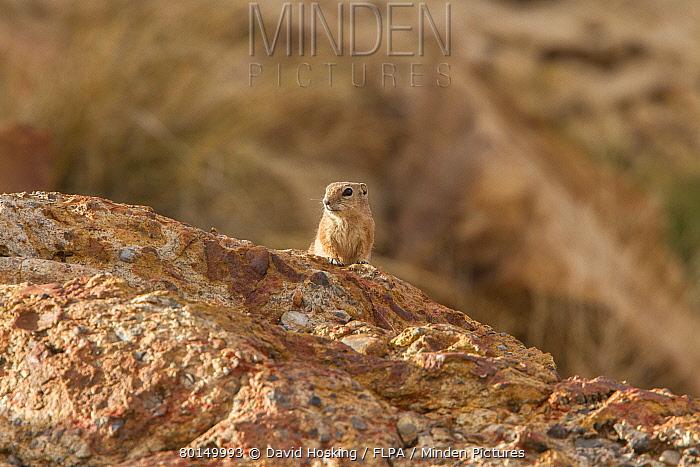 White tailed Antelope Squirrel, Arches National Park Utah America  -  David Hosking/ FLPA