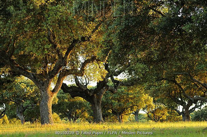 Holm Oak (Quercus ilex) habit, dehesa habitat in late evening sunlight, Spain, june  -  Fabio Pupin/ FLPA