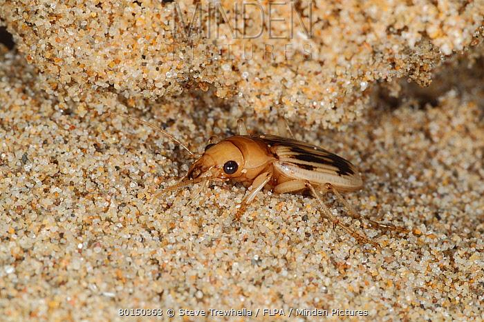 Beachcomber Beetle (Nebria complanata) adult, under strandline debris on beach, Gower Peninsula, Glamorgan, Wales, august  -  Steve Trewhella/ FLPA