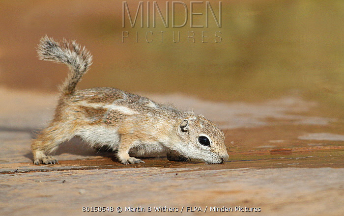 White-tailed Antelope Squirrel (Ammospermophilus leucurus) adult, drinking water trapped between concrete slabs, Arches National Park, Utah, U.S.A., may  -  Martin Withers/ FLPA