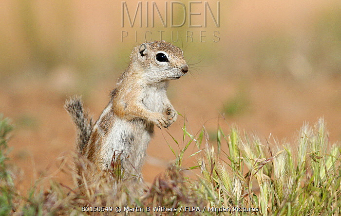 White-tailed Antelope Squirrel (Ammospermophilus leucurus) adult, standing on hind legs in short grass, Arches National Park, Utah, U.S.A., may  -  Martin Withers/ FLPA